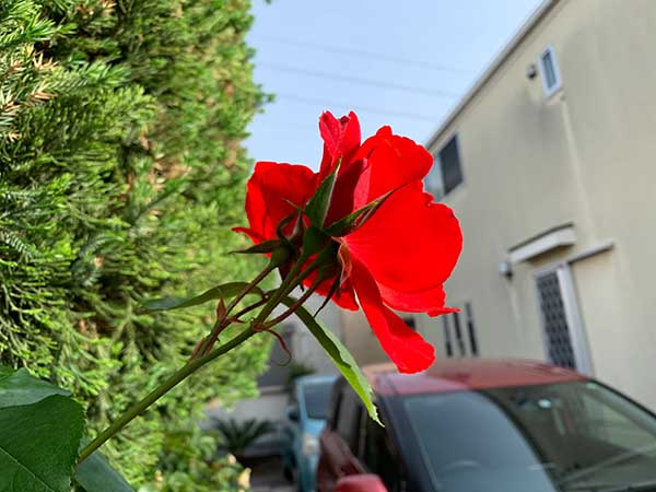 rose-yuppie_8313a.jpg