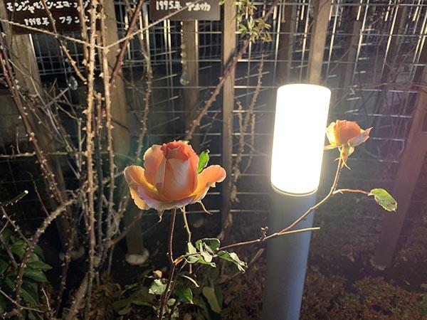 roses_6942a.jpg